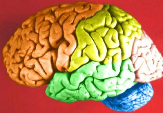emberi agy (agy)