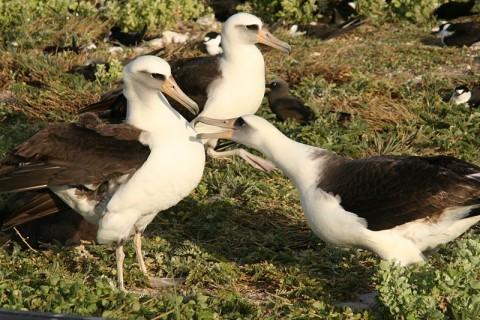 Laysan albatroszok (albatrosz)