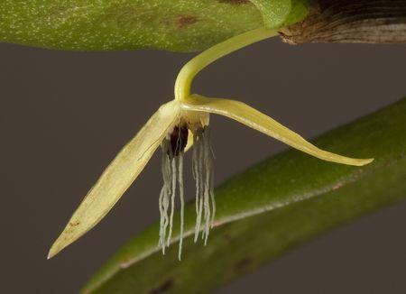 Bulbophyllum nocturnum (bulbophyllum nocturnum )
