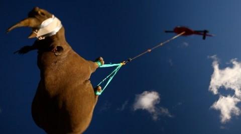 rinocérosz reptetés (rinocérosz, )