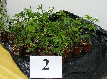 Cannabis (cannabis)