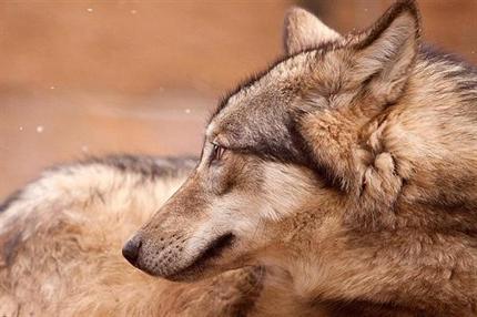Farkas(430x286).png (farkas, canis lupus, )
