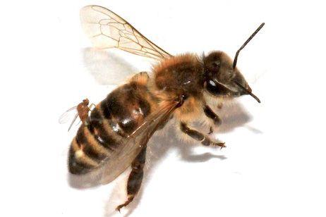 Fertőz a zombi légy (légy, Apocephalus borealis, méh, parazita, fertőzés, )