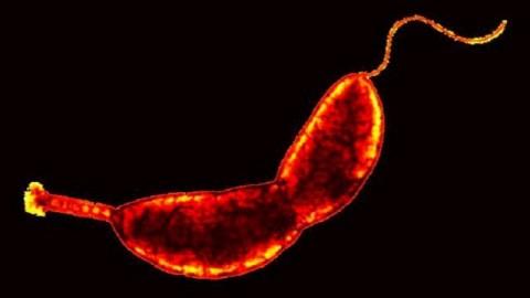Caulobacter crescentus (Caulobacter crescentus, baktérium, )