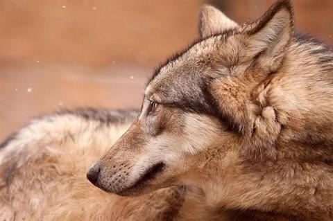 Farkas (farkas, canis lupus, )