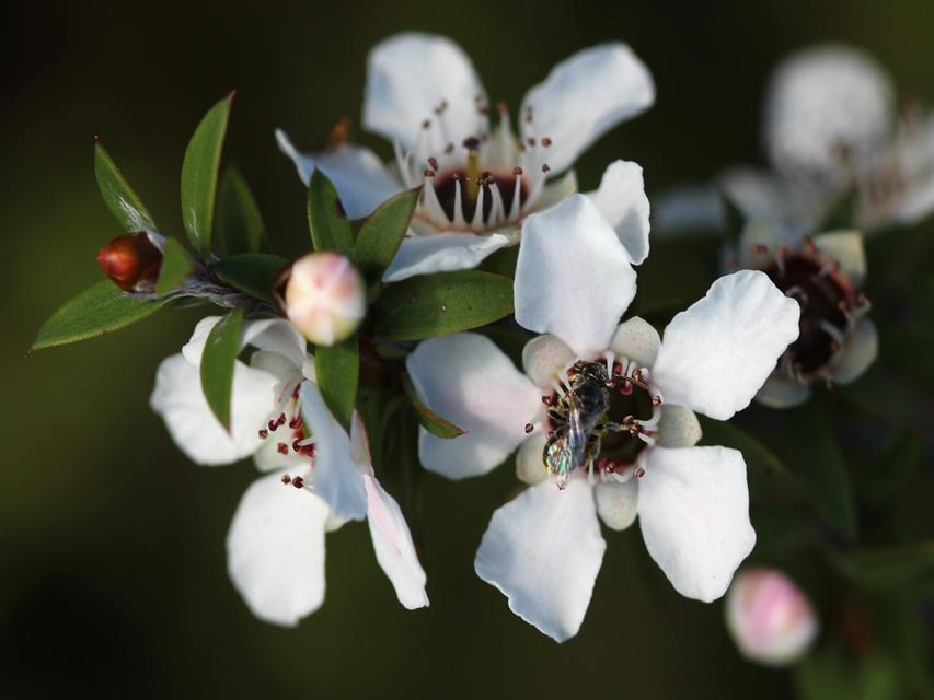 Manuka-virag(1024x768).png (manuka, méz, virág, méh, )