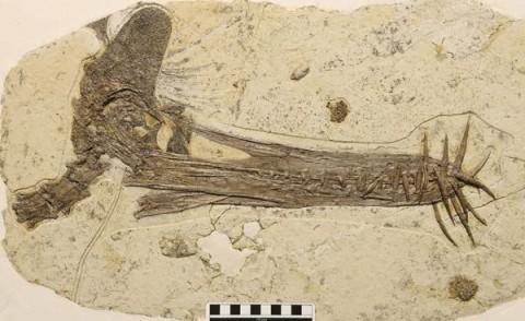 Guidraco venator koponya (Guidraco venator, pteroszaurusz, koponya, lelet, fosszília, )
