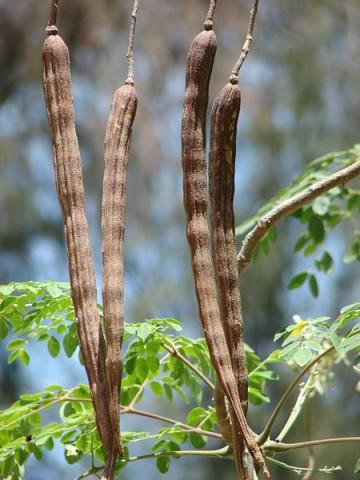 Lóretekfa gyümölcse (lóretekfa, Moringa oleifera, lóretek, )