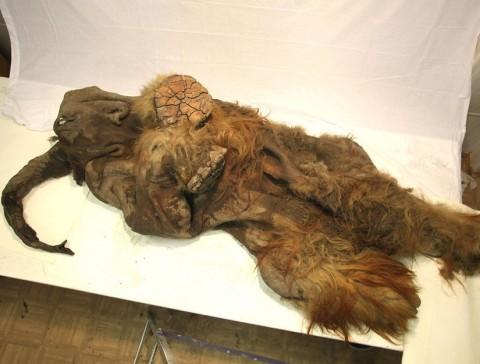 Juka, a tízezer éves mamutborjú teteme (juka, mamut, )