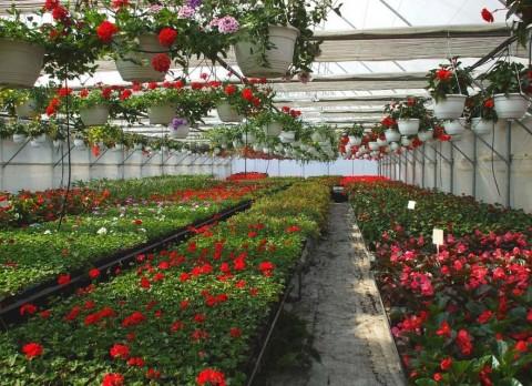 kapuvár virágosztás (kapuvár, muskátli, )