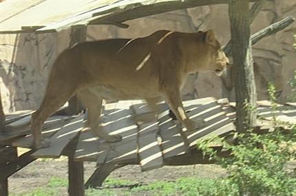 oroszlan-kifuto(1)(430x286)(1).png (oroszlán kifutó)