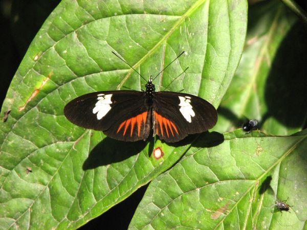 Heliconius timareta (lepke, )