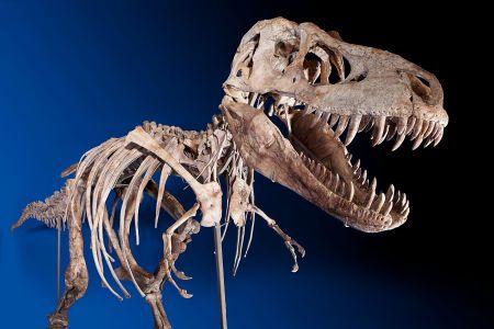 Tarbosaurus (tarbosaurus, )
