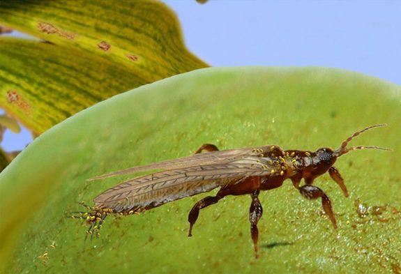 beporzó rovar (rovar, )