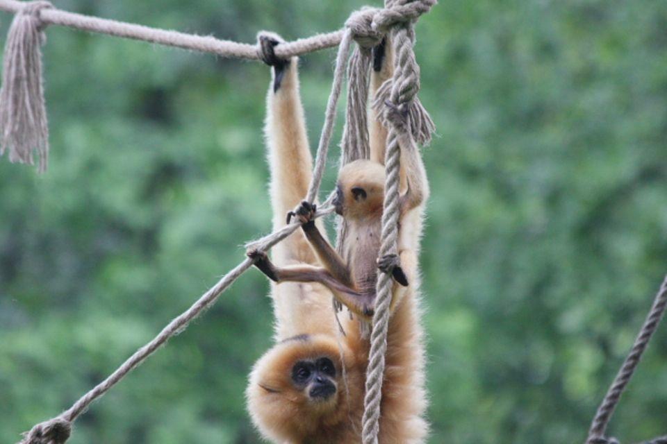 gibbonkölyök (gibbon, Jade)