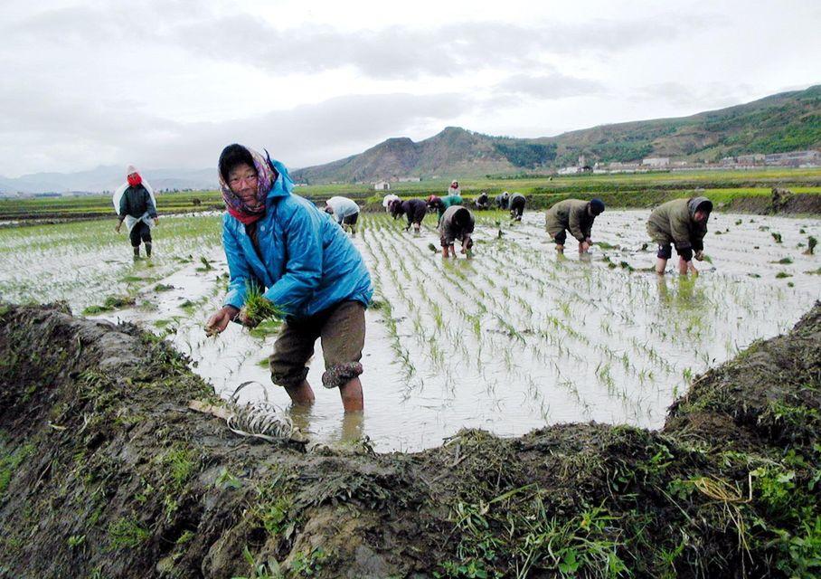 ÉKorea rizsföld (észak-korea, rizsföld, )