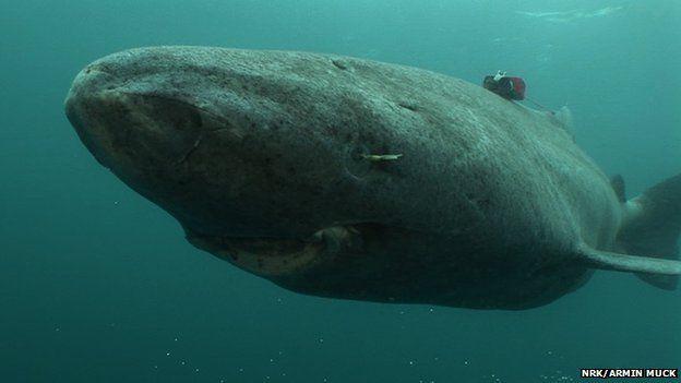Grönlandi cápa (grönlandi cápa, cápa, )
