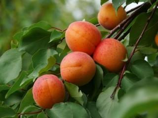 barack (barack, gyümölcs, )