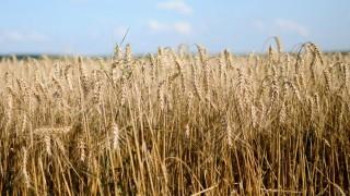 búza (búza, kalász, aratás)