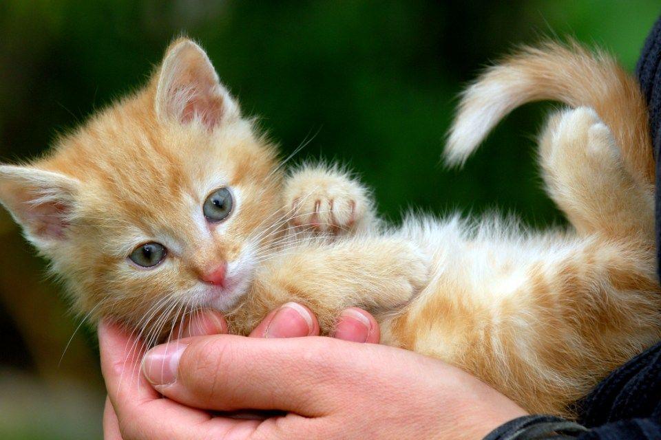 cica (kiscica)