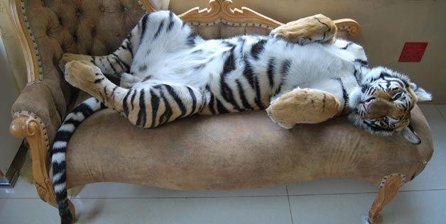 enzo (tigris, )