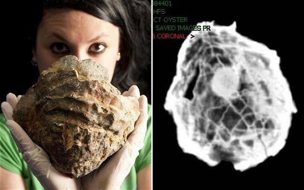 145 millió éves kagyló (kagyló, igazgyöngy, gyöngy, fosszília, )