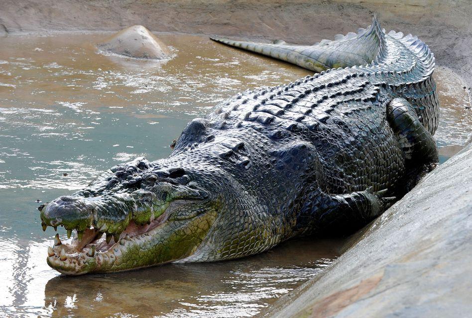Lolong (lolong, krokodil, )