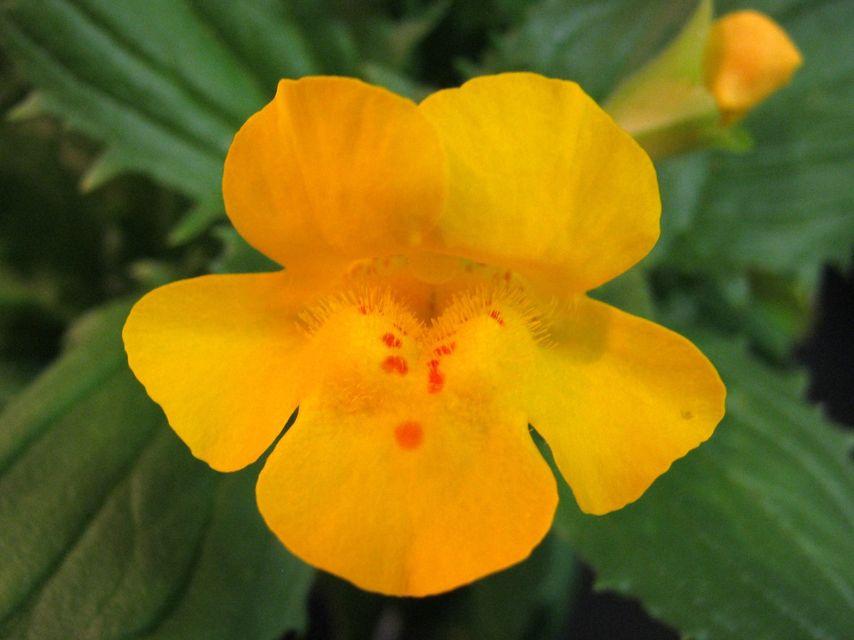 Mimulus peregrines (mimulus peregrines, bohócvirág, virág, )