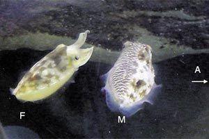 Sepia plangon tintahal (Sepia plangon, tintahal, )