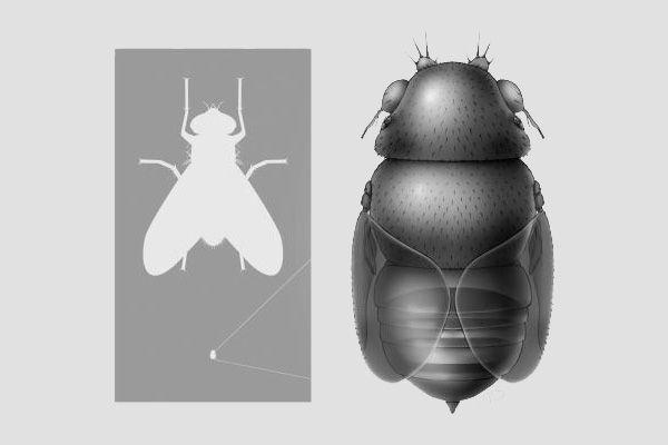 Világ legkisebb legye (Euryplatea nanaknihali, légy, világ legkisebb, legkisebb, )