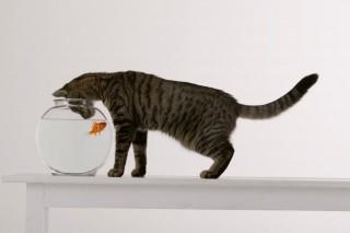 cica-hal (macska, akvárium, )