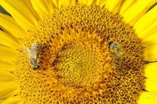 méhek (ingyenes, napraforgó, )