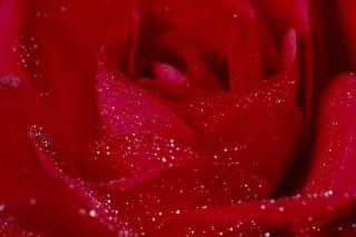 rózsa (rózsa)