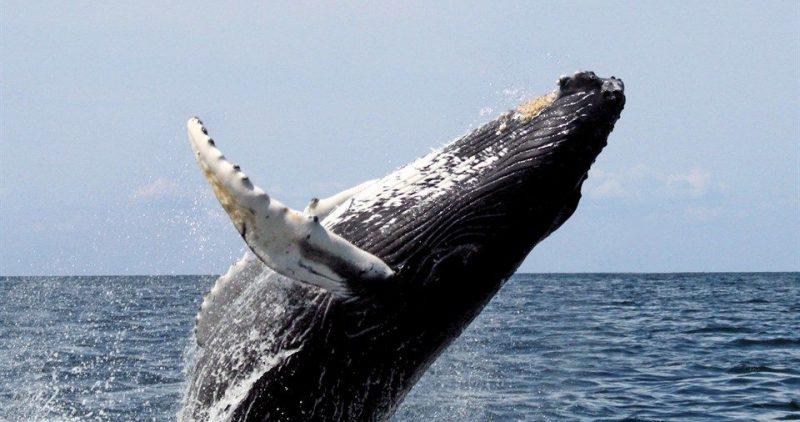 Hosszuszarnyu-balna(960x640).jpg (bálna, hosszúszárnyú bálna, púpos bálna, Megaptera novaeangliae, )