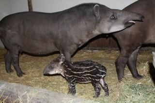 kis tapír (kis tapír)