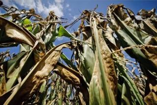 kukorica-aszály (ingyenes, )