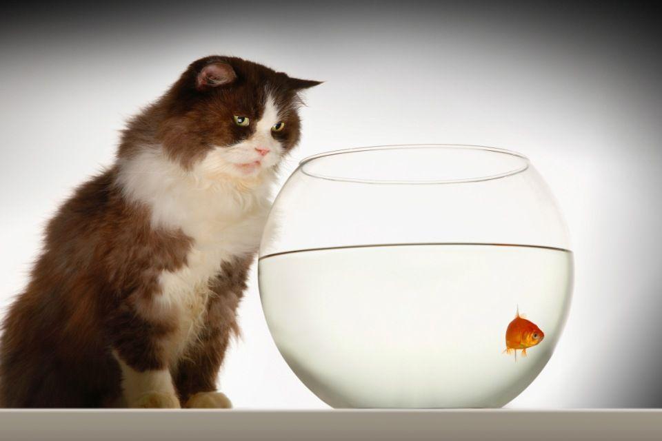 macska (macska, )
