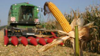 kukorica (kukoricatermés, )