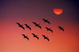 madárvonulás (madarak, )