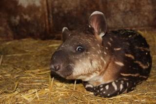 maia-tapír (tapír, )