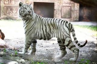 tigris (bengáli tigris, )