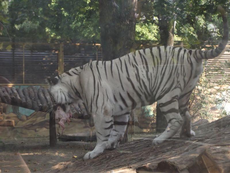 tigris Győr (tigris Győr)