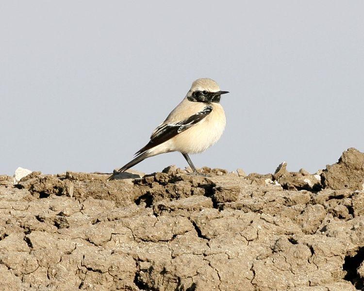 Hantmadár (madár, )