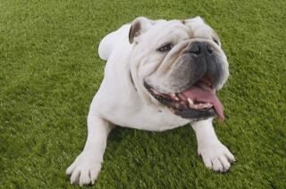 bulldog (bulldog, )