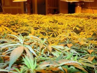 cannabis (cannabis, )