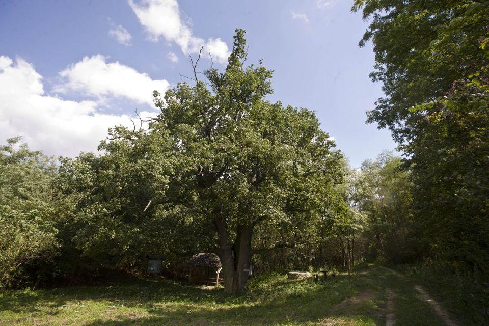 év fája (év fája, győr megye)