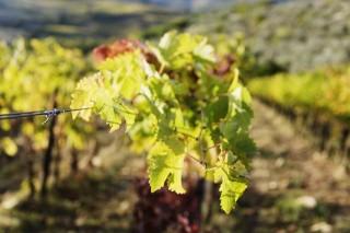 szőlő (szőlőtőke, szőlőlevél, szőlő, )