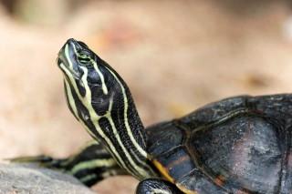 teknős (teknős, )