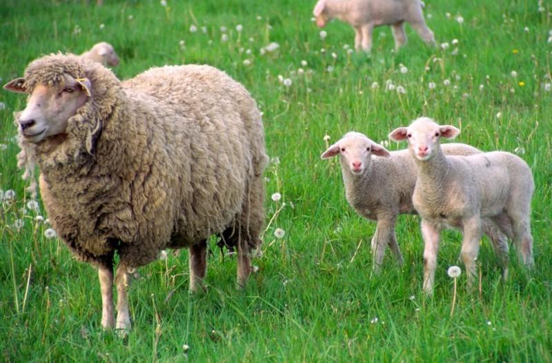 Baranyok(210x140)(1).jpg (bárányok,)