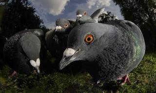 Galambok (galamb, )